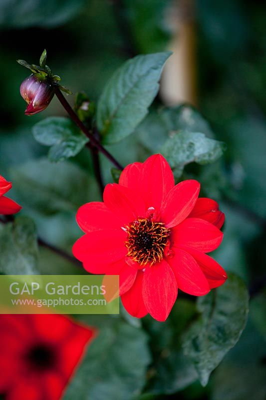 Dahlia - red flower with dark foliage