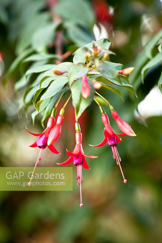 Fuchsia regia - species