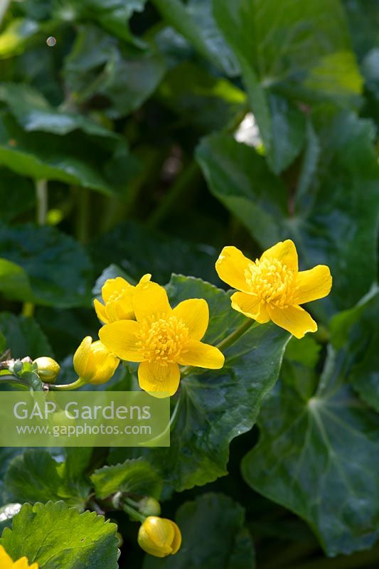 Caltha palustris - Marsh marigold flowers