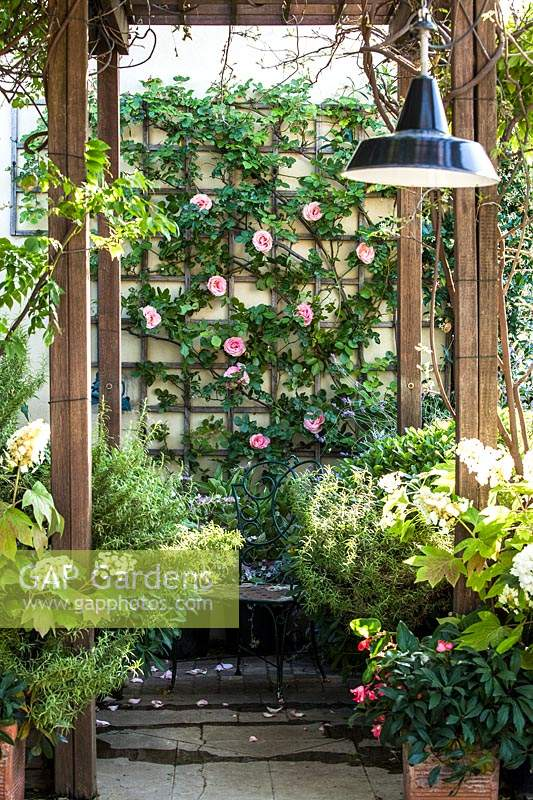 View to trellis on back wall, covered with Rosa 'Pierre de Ronsard'.