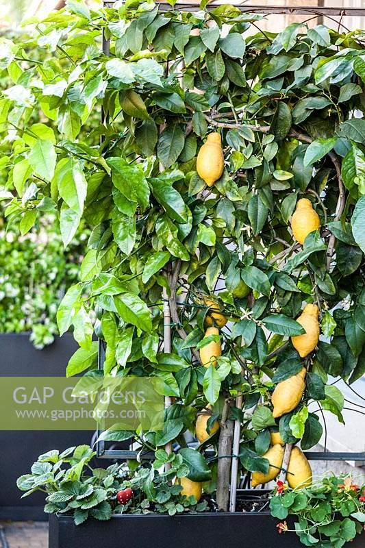 Citrus limon - Lemon tree growing in container.