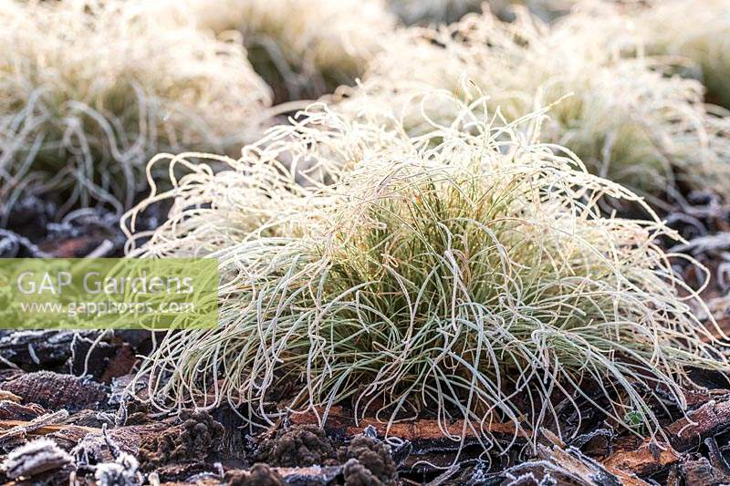 Carex comans 'Frosted Curls' mulched with woodchipping in frost