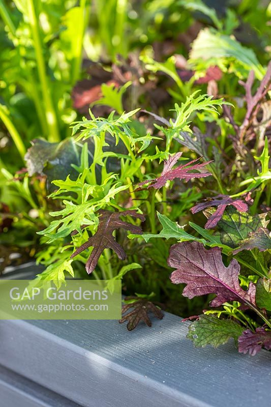 Close up detail of successional growing of Salad Leaves 'Winter Greens' in a trough.