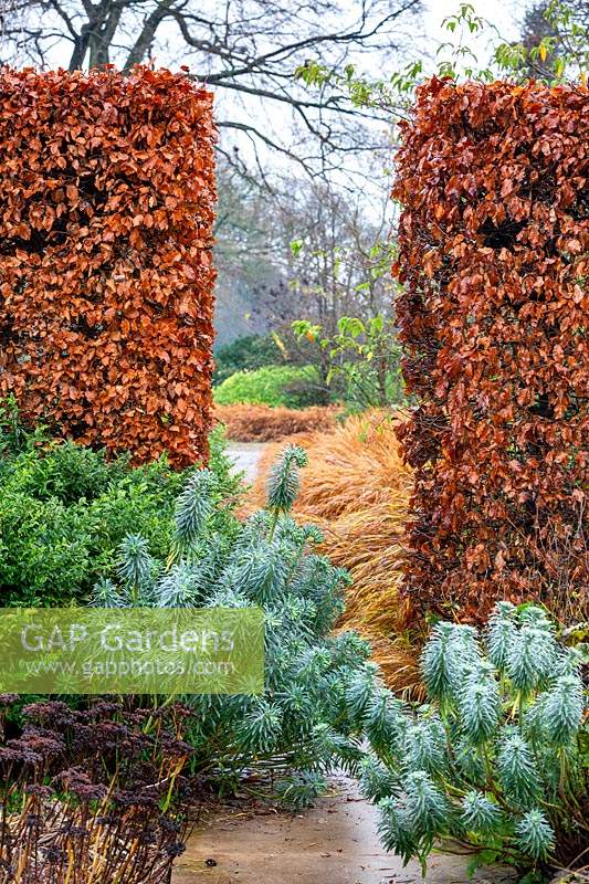 Euphorbia characias subsp. wulfenii and view through winter beech hedging.