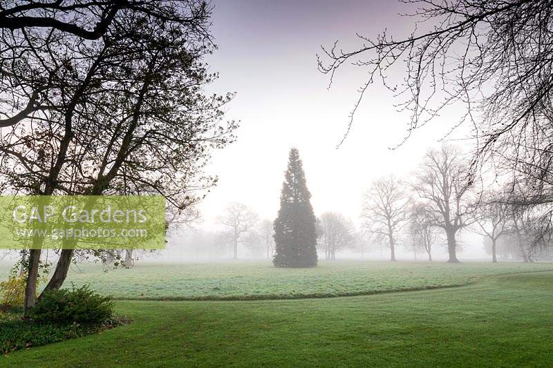 Sequoiadendron giganteum tree in distance surrounded by lawn and mist