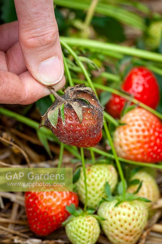 Gray mold on a strawberry caused by Botrytis cinerea rot