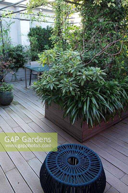 View across decked surface to room divider in similar material filled with Edgeworthia chrysantha underplanted with Agapanthus