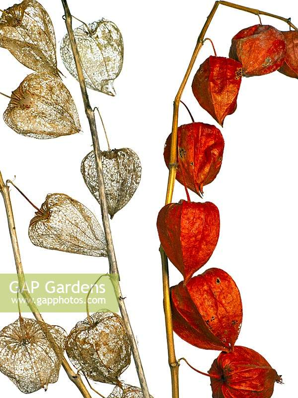 Physalis alkekengi - Chinese Lanterns skeletons