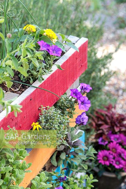 Close up detail of rainbow pallet planter. Planting includes: Thymus 'Silver Queen' - Thyme - and Petunia 'Shockwave Denim'