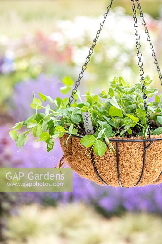 Hanging basket planted with peas and mint.