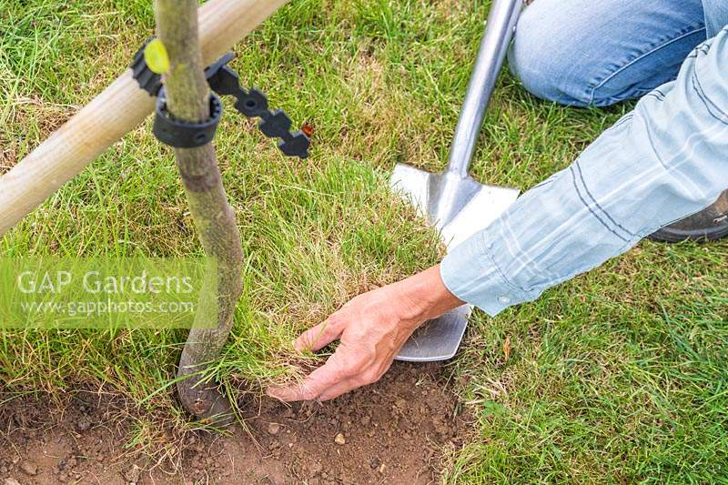 Woman using a spade to lift turf from around the base of a tree.