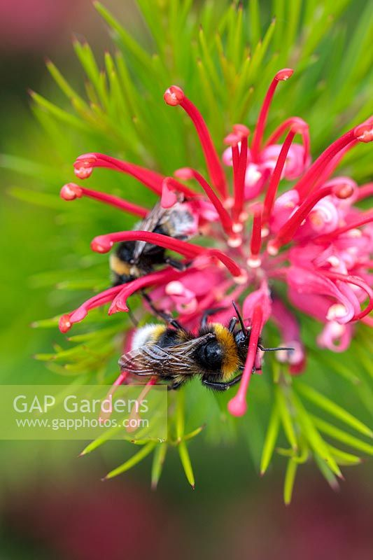Grevillea juniperina with bumble bees.