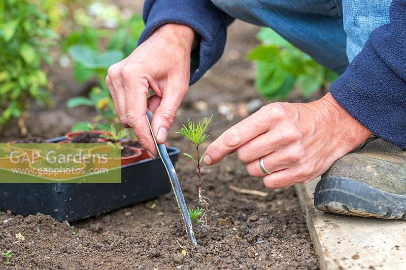 Woman using widger to carefully dig up self-seeded Cosmos seedling from ground