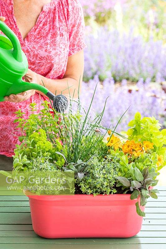 Woman watering pink, plastic washing up bowl planted with herbs and flowers.