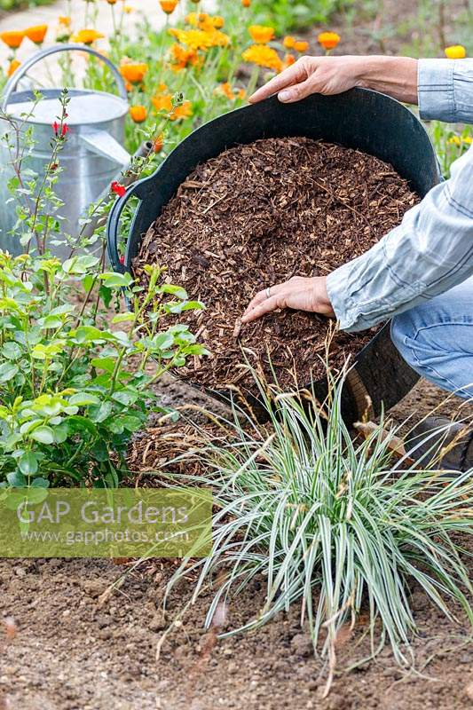 Woman adding bark mulch around newly planted Rosa, Carex and Salvia plants.