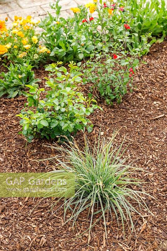 Bed planted with Carex, Rosa and Salvia, with bark Mulch.