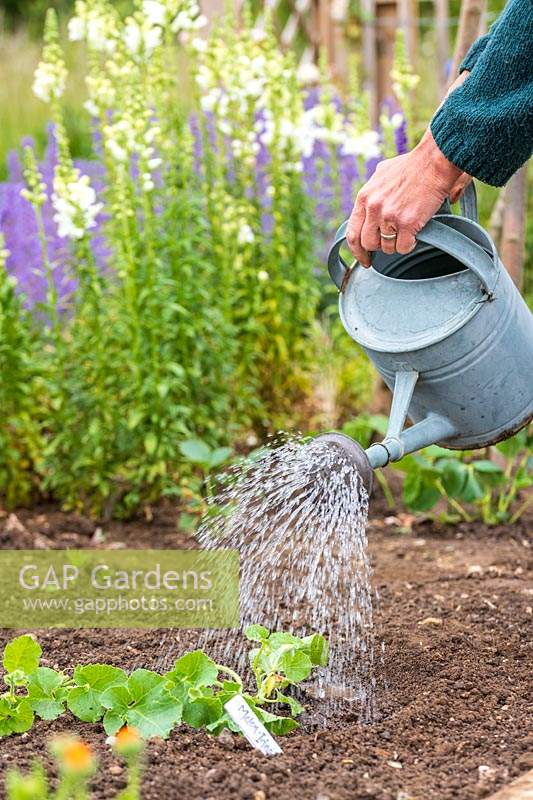 Using a metal watering can to water newly-planted Melon plant