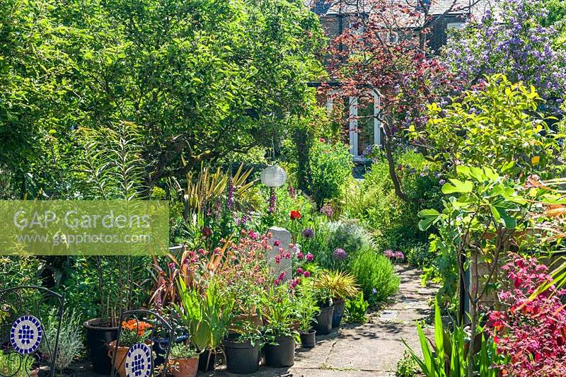 View of a long narrow town garden in Cambridge. Serpentine path, old apple tree, Cercis canadensis 'Forest Pansy', erysimum, phormiums, lilies, irises, fig tree.