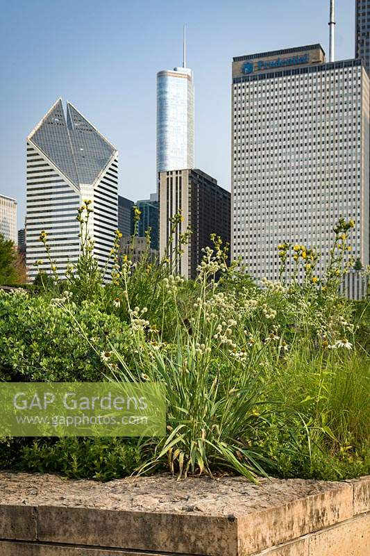 Border of Eryngium yuccifolium and Silphium laciniatum - Rattlesnake Master and Compass Plant with skyscrapers in the background.
