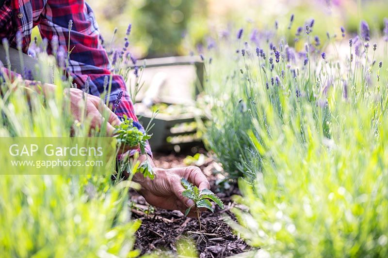 Woman weeding in amongst rows of lavender