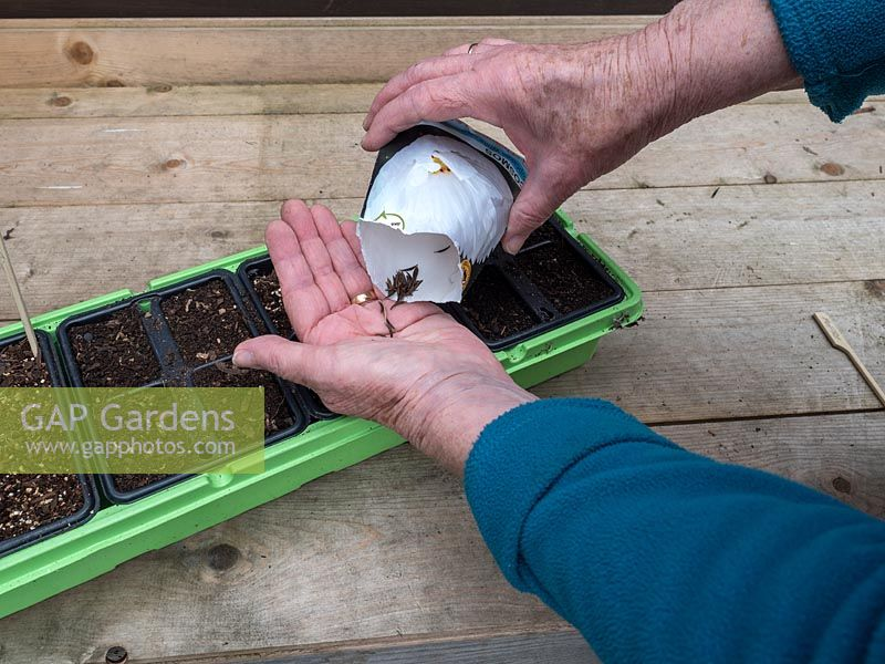 Sowing Calendula seeds in tray