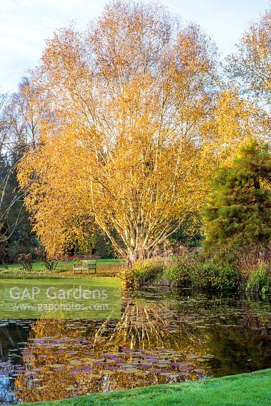 Betula var. jacquemontii - Silver Birch - reflected in lake containing Nymphaea - Waterlily