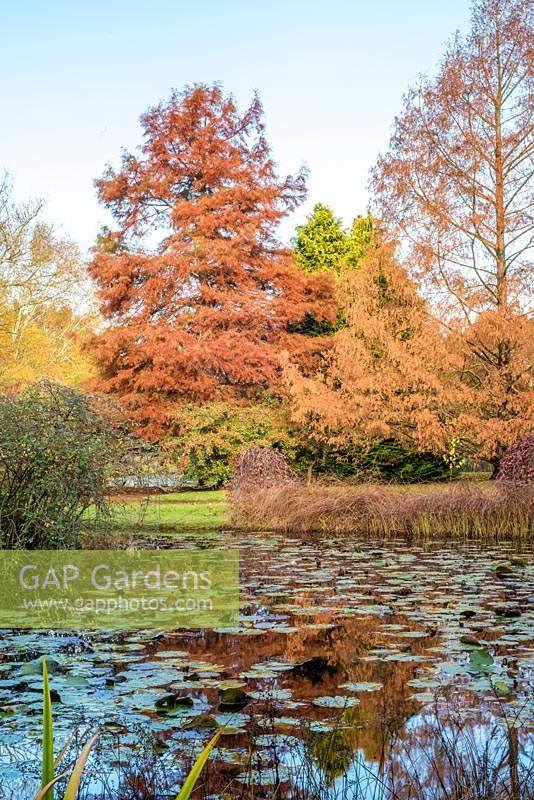Taxodium distichum - Bald Cypress and Metasequoia glyptostroboides - Dwan Redwood reflected in lake containing Nymphaea - Waterlily