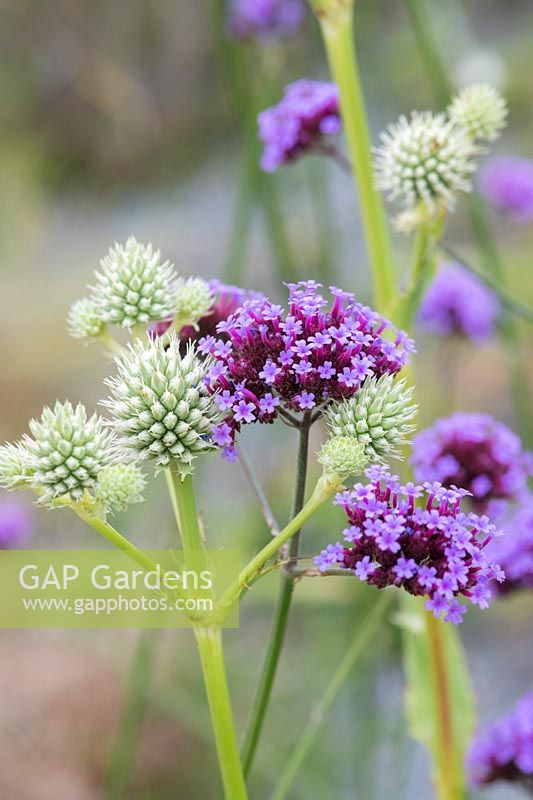Eryngium yuccifolium and Verbena bonariensis - Button snakeroot and Purple top