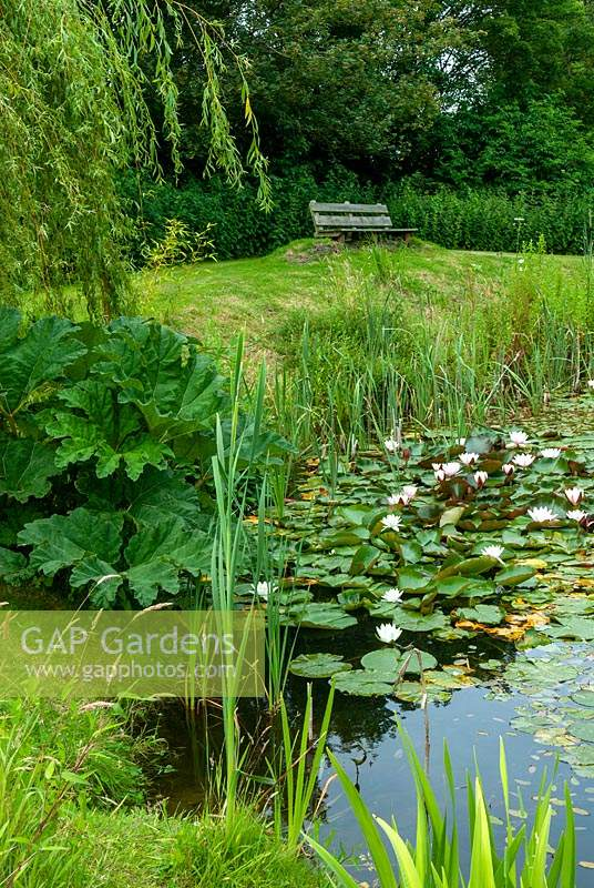 Pond with Water Lillies and marginal plants including Gunnera with elevated bench beyond - Open Gardens Day, Kelsale, Suffolk