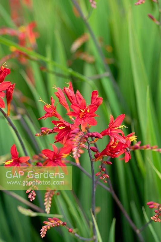 Crocosmia 'Tamar double red' - Montbretia 'Tamar double red'