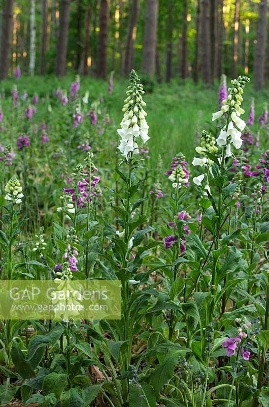Digitalis purpurea - wild foxgloves