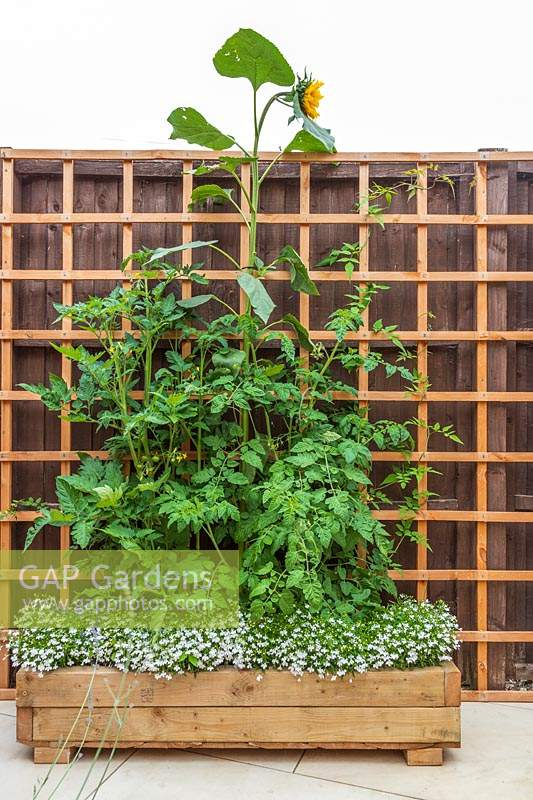 Rustic wooden planter with Lobelia, Tomatoes and Helianthus - Sunflower