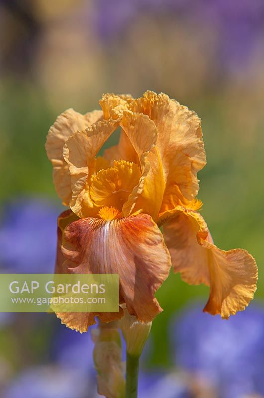Tall bearded Iris 'Montego Bay'
