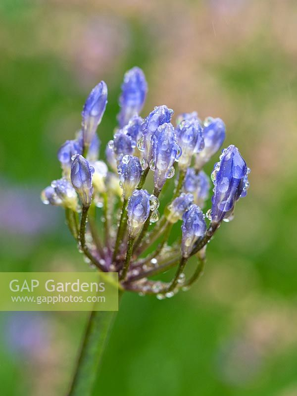 Agapanthus Headbourne Hybrids - African Lily