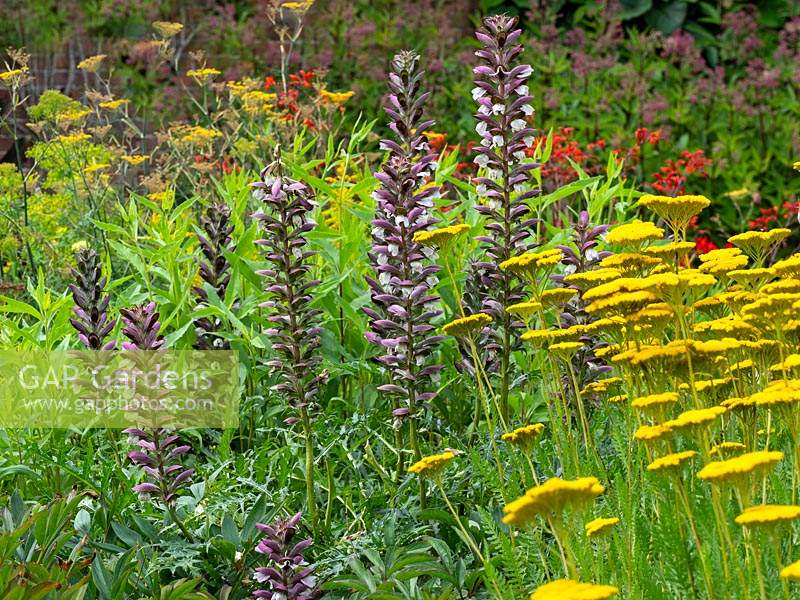 Acanthus mollis - Bear's breeches and Achillea 'Moonshine' - July