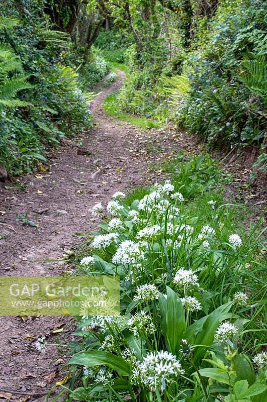 Country lane through woodland, Allium ursinum - Wild Garlic - in foreground