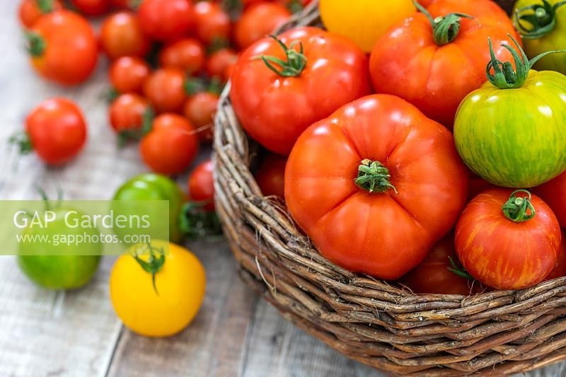 A mixed variety of harvested tomatoes in a wicker basket.
