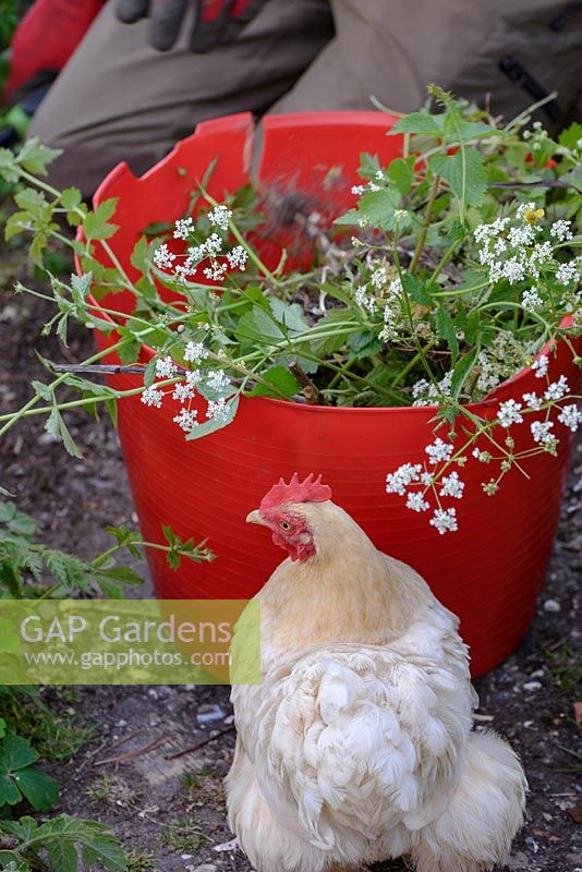 Pekin Bantam with a bucket of garden cuttings and weeds.