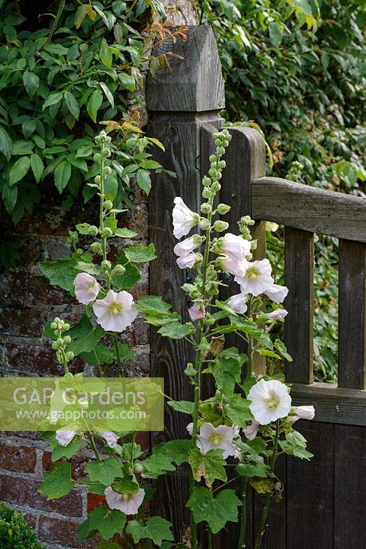 Alcea rosea - Hollyhocks growing by a wooden gate.