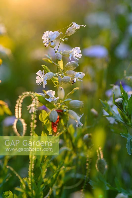 Silene vulgaris - Bladder Campion and Papaver rhoeas - Field poppy flower buds  back lit with evening light in a wild flower meadow.
