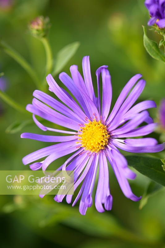 Aster x frikartii 'Monch' - Aster 'Monch'