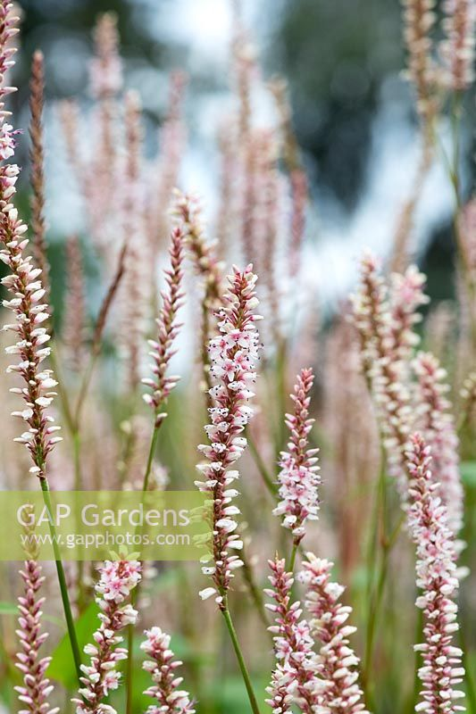 Persicaria amplexicaulis 'JS Misty Morning' - Red bistort 'JS Misty Morning'
