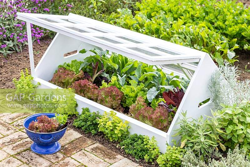 Cold frame made from recycled window frames, open to reveal selection of Lettuce growing inside and colander with harvested leaves in foreground