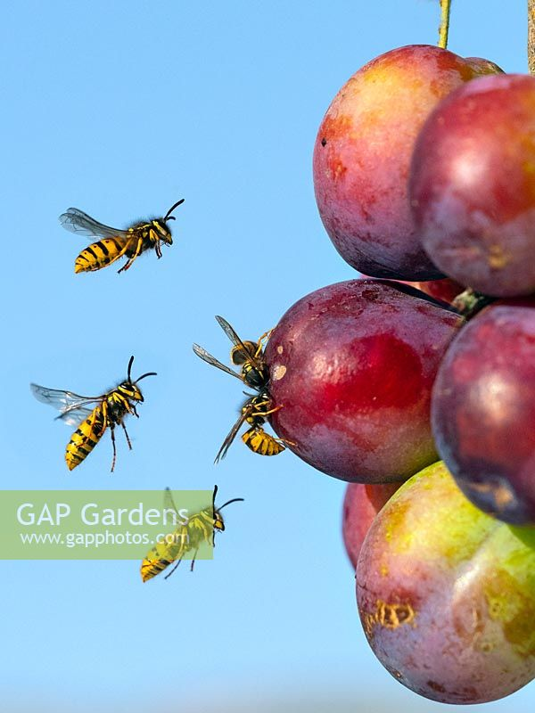 Vespula vulgaris - Common Wasp feeding on ripe plums.