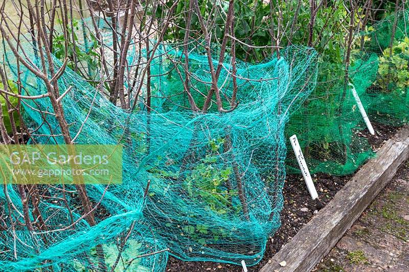 Crop protection - netting and sticks to protect young plants against pigeons and other birds