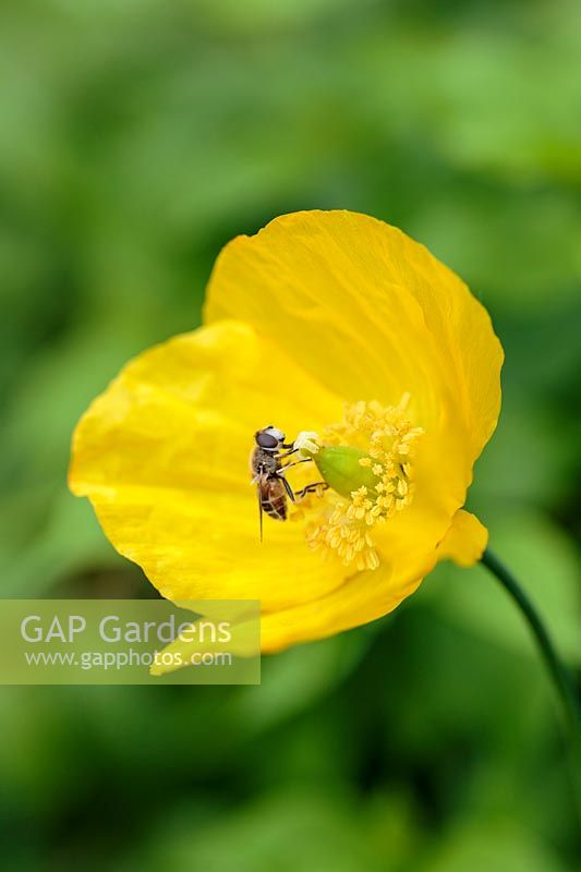 Insect on Meconopsis cambrica - Welsh poppy