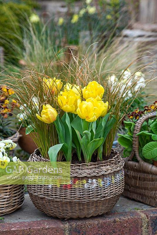 Vintage basket filled with Tulipa 'Monte Carlo' and Carex testacea - orange new Zealand sedge.