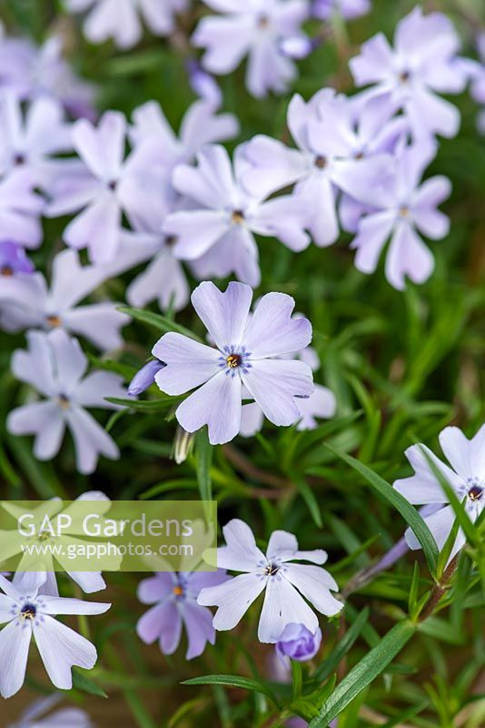 Phlox subulata 'Emerald Cushion Blue', moss phlox, an evergreen trailing plant in spring, April.