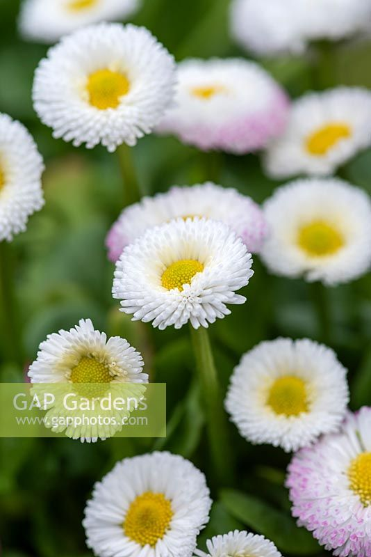 Bellis perennis 'double white', a hardy biennial daisy flowering in spring