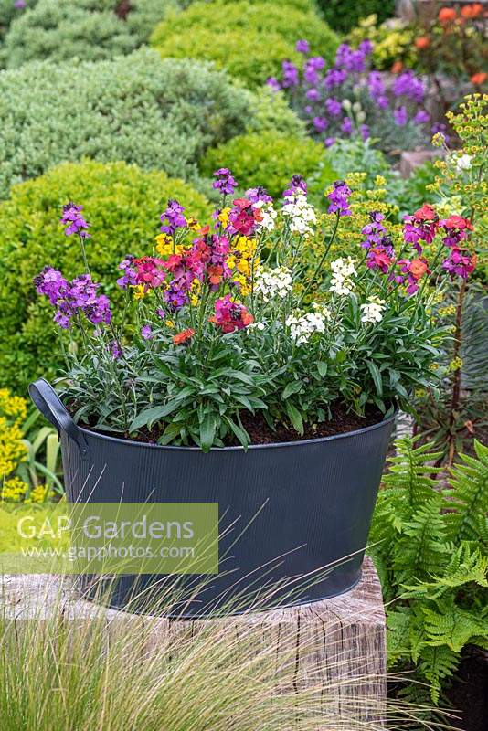 Container with varieties of Erysimum -  'Bowles Mauve', 'Rysi Moon Cream', 'Winter Orchid' and 'Yellow Erysistible'.